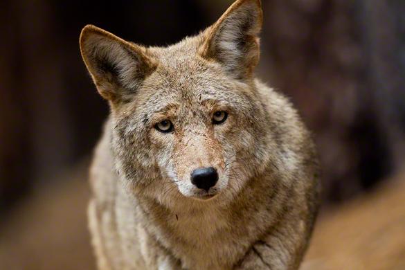 CoyoteStare