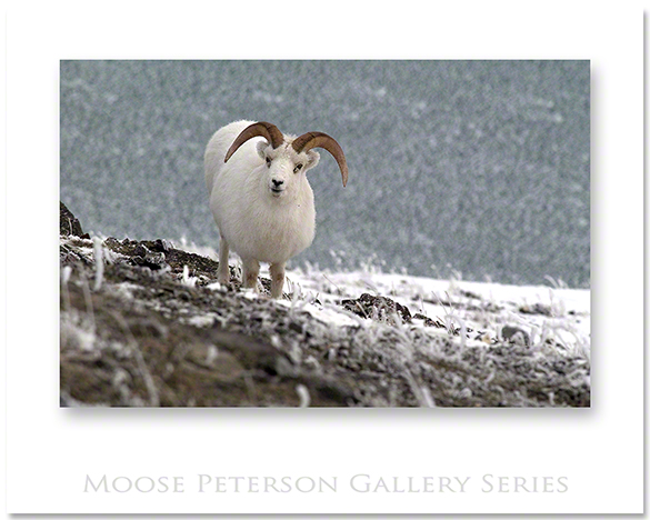 Dall Sheep 0591