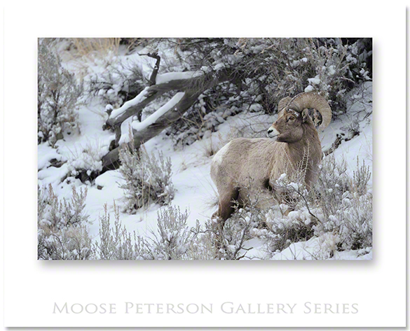 Rocky Mtn Bighorn 10507
