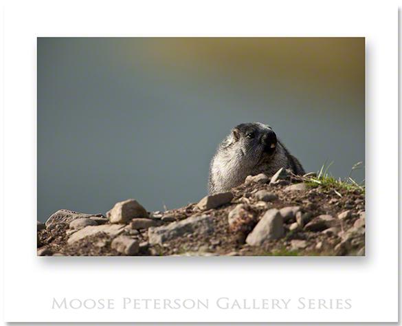Alaska Marmot 0852