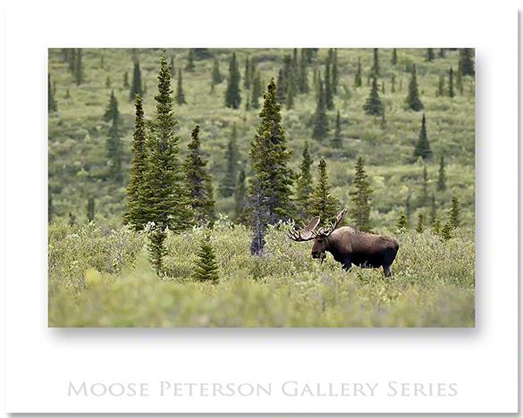 Alaskan Moose 0427