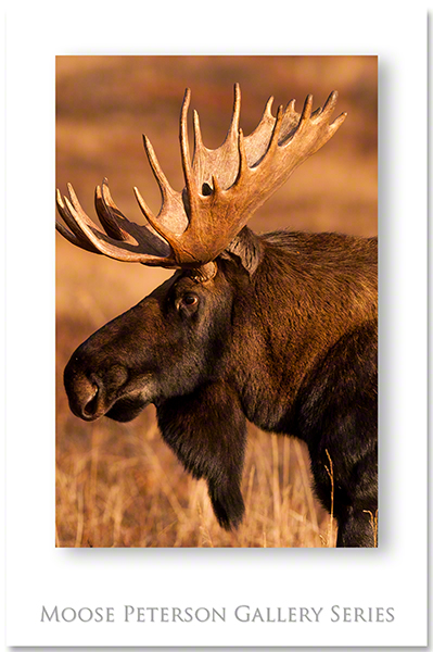 Alaskan Moose 1998