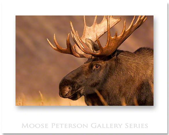Alaskan Moose 2007