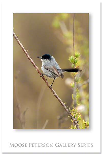 Ca Gnatcatcher 0227