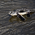 D7100 Stories: The baby Black Sea Turtles