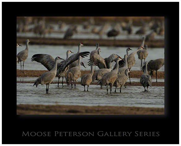 Lesser Sandhill Crane 4499