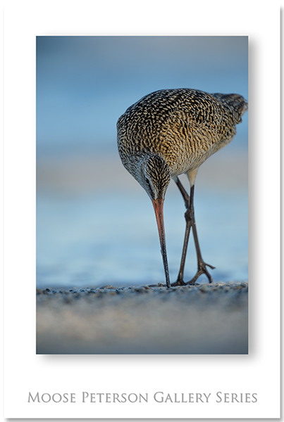 Marbled Godwit 0172