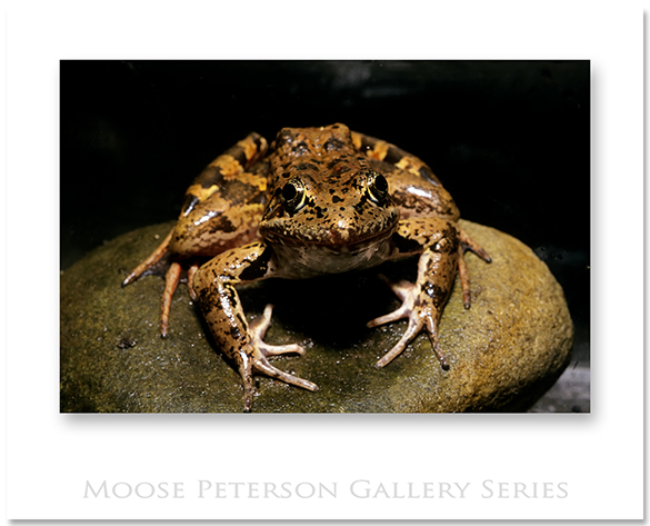 CA Red-legged Frog 0068