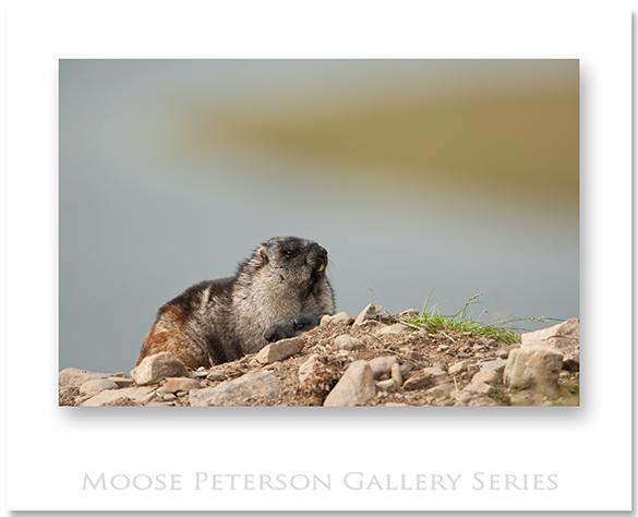 Alaska Marmot 0382