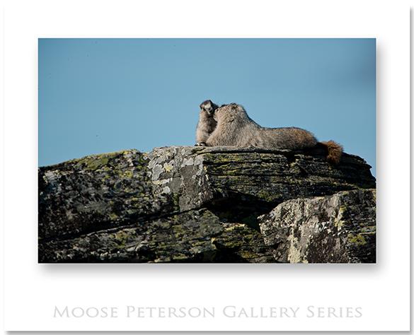 Hoary Marmot 0502