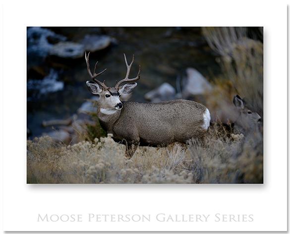 Mule Deer 0457