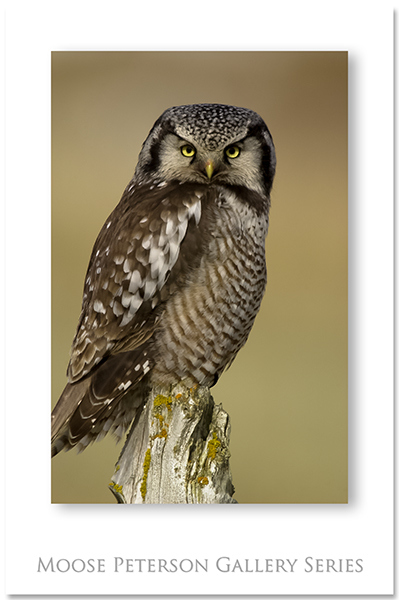 No Hawk Owl 0014