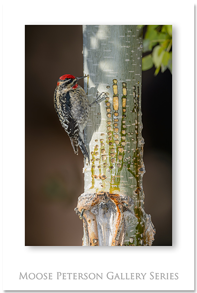 Red-brstd Sapsucker 0542