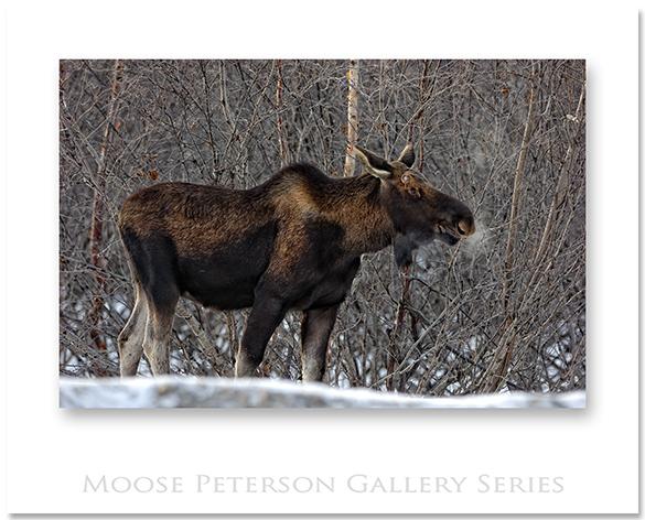 Alaskan Moose 2918