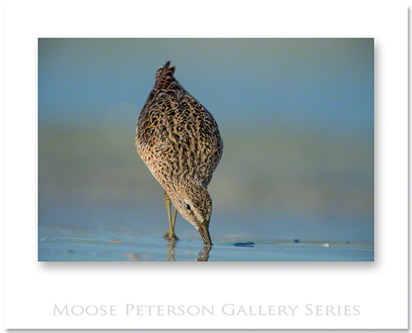 Short-billed Dowitcher 0887
