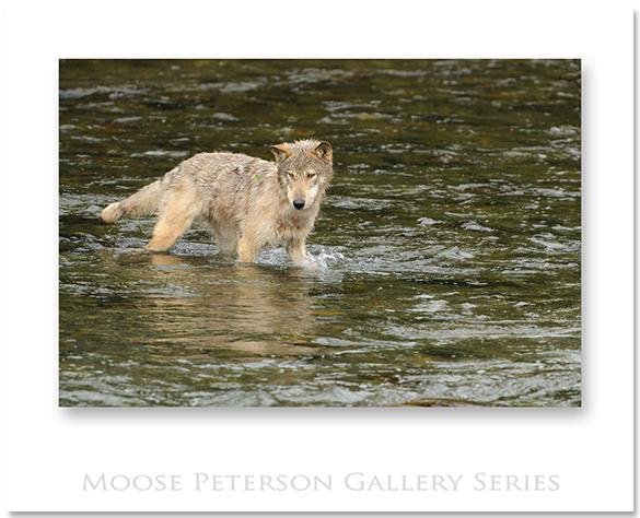 Gray Wolf 0317