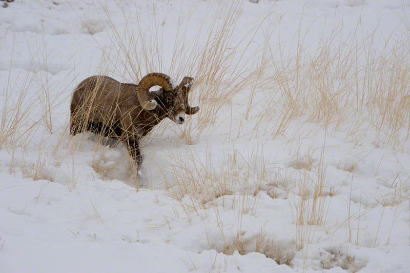 Rocky Mtn Bighorn
