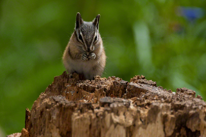 Yellow-pineChipmunk0288
