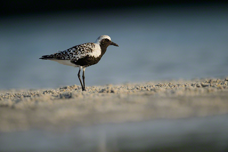 Blk-bellied Plover 1100