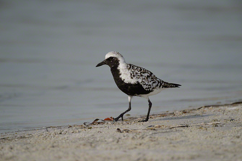 Blk-bellied Plover 1130