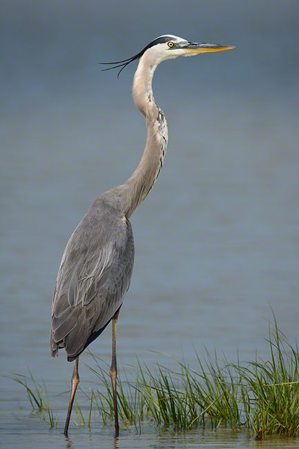 Great Blue Heron 1641