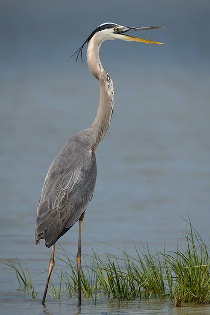 Great Blue Heron 1648