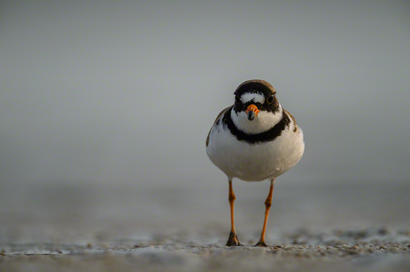 Semi Palmated Plover 0156