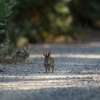 The Riparian Brush Rabbit
