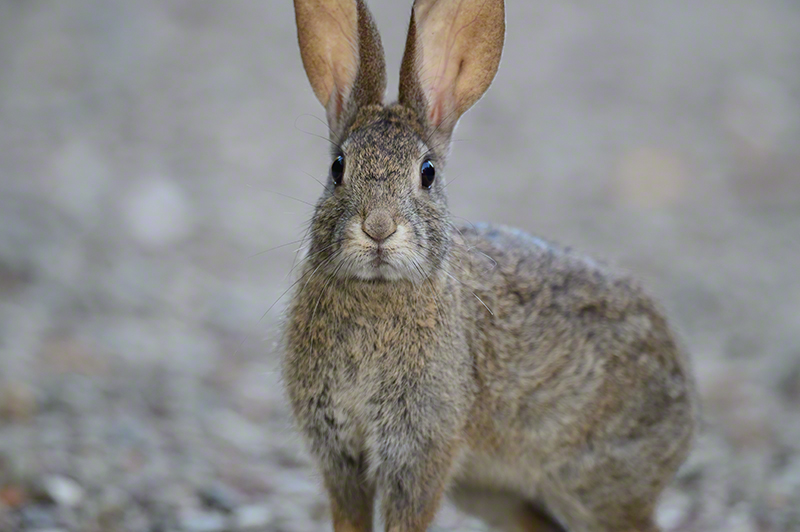 Riparian Brush Rabbit 1156