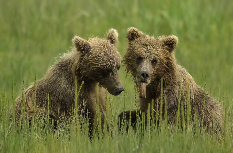 Grizzly Bear 0650