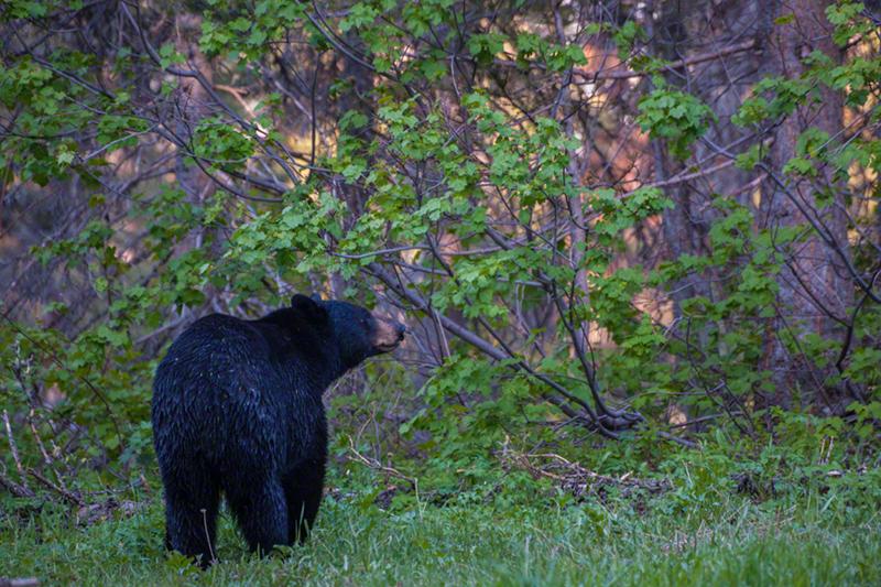 Black Bear 0635