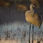 Cranes of Bosque