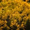 Struck Colorado Gold