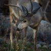 Mule Deer Munching