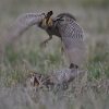 The Prairie Chicken