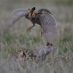 The Prairie Chicken