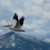 White Pelican over Snow