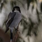 Butcherbird Background