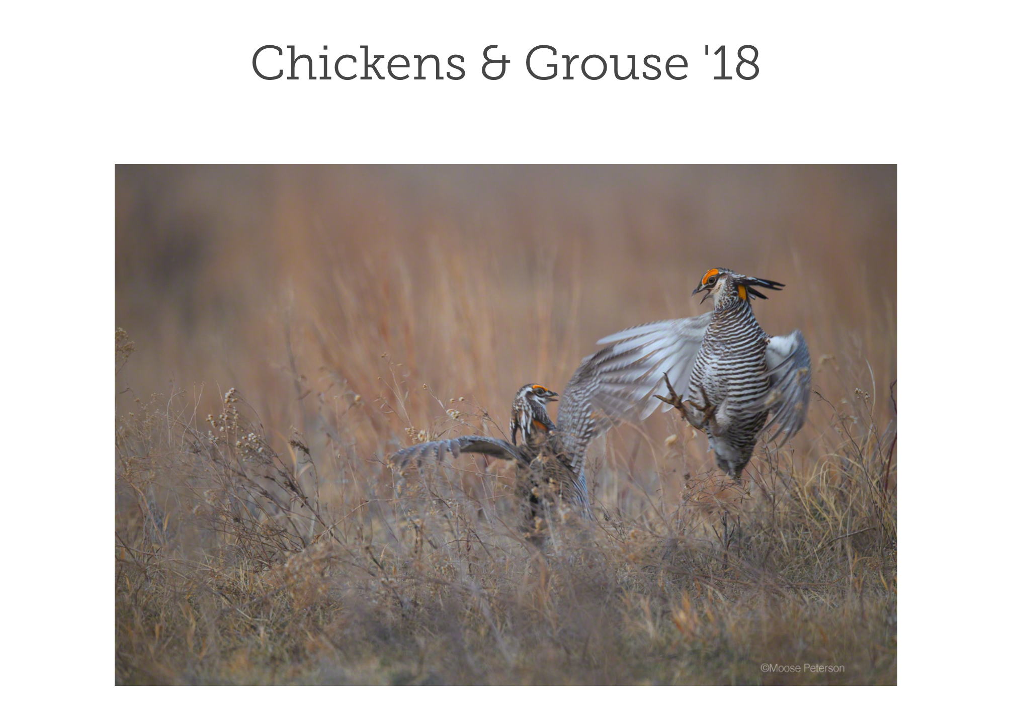 Chickens & Grouse Gallery