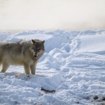 Yellowstone Wolves 2020 Adventure